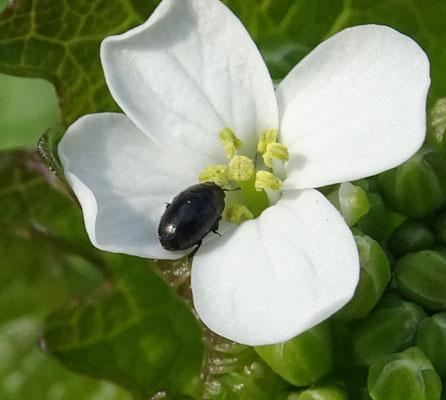 Scymnus nigrinus  - Groot zwart kapoentje -
