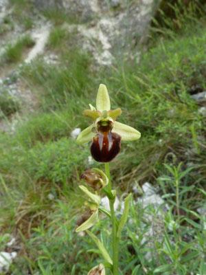 Ophrys spegodes