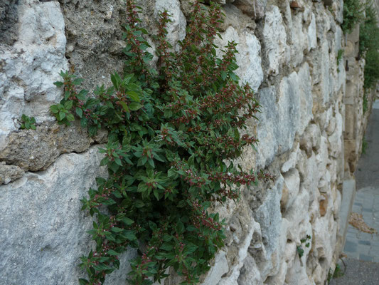 Parietaria judaica - Klein glaskruid