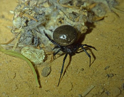 zwarte weduwe Latrodectus tredecimguttatus