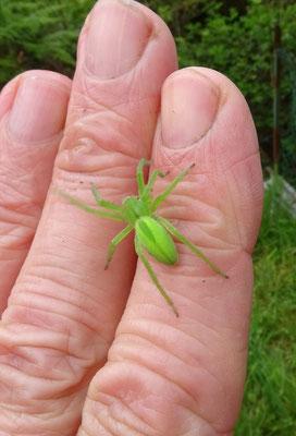groene jachtspin (Micrommata virescens)