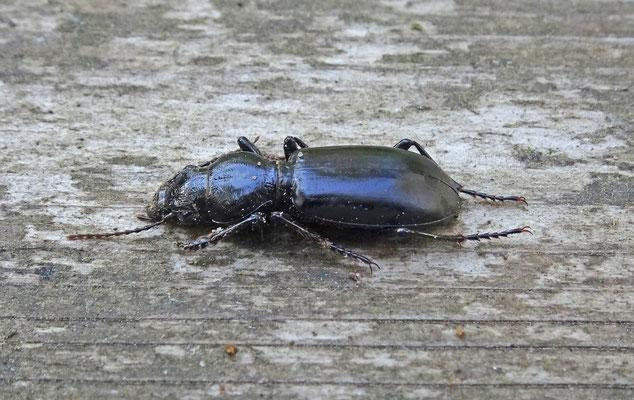 Broscus cephalotes - Dikkoploopkever