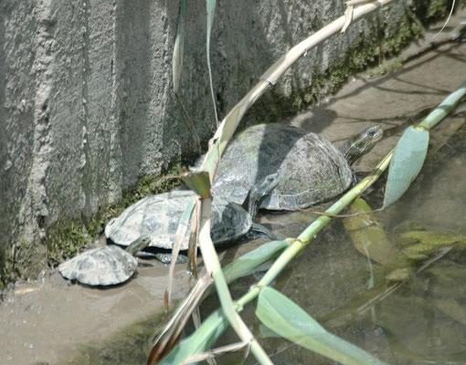Balkanbeekschildpad - Mauremys rivulata
