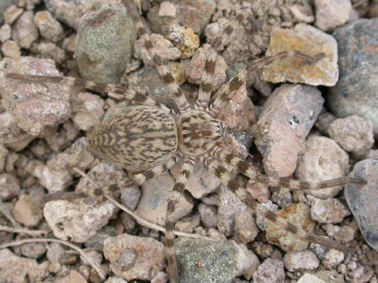 Eusparassus walckenaeri (reuzenkrabspin)