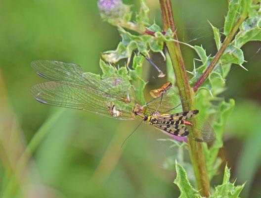Panorpa vulgaris - Weideschorpioenvlieg