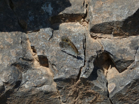 Lasiommata maera