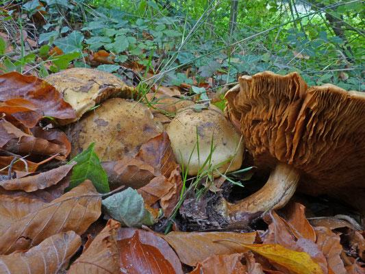 Cortinarius allutus - Honinggordijnzwam