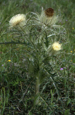 Cirsium horridulum - Yellow Thistle