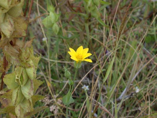 Blackstonia perfoliata subsp. serotina - Herfstbitterling