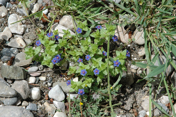 Anagallis arvensis foemina - Blauw guichelheil
