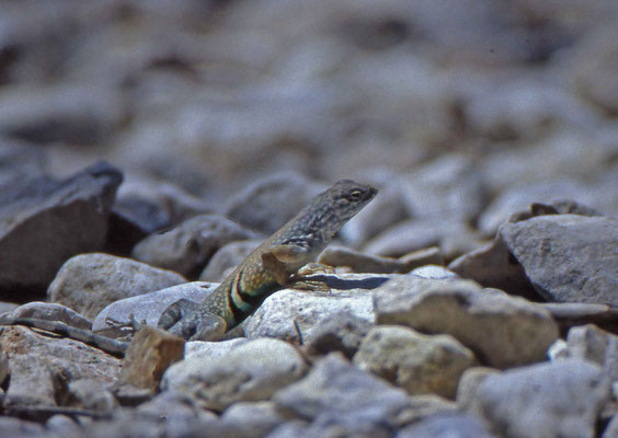 Greater Earless Lizard, male