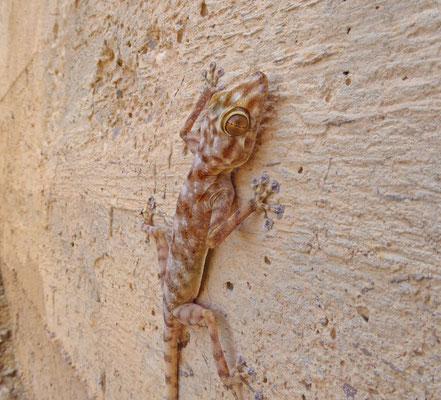 Ptyodactylus hasselquistii