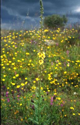 Verbascum blattaria - Mottenkruid
