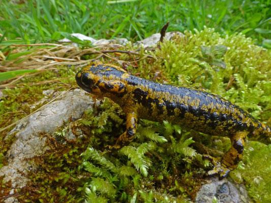 Salamandra salamandra bernardezi