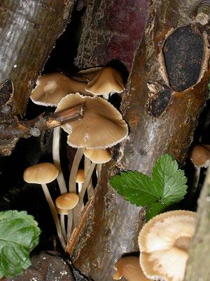 Psathyrella multipedata - Bundelfranjehoed