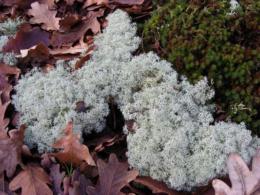 Cladonia portentosa - Open rendiermos