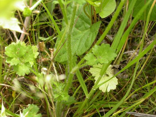 Ranunculus sardous - Behaarde boterbloem