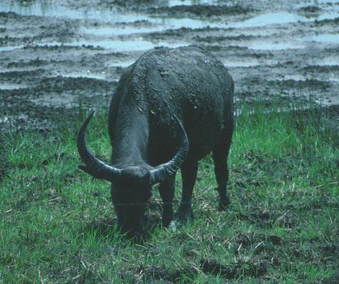 Waterbuffel