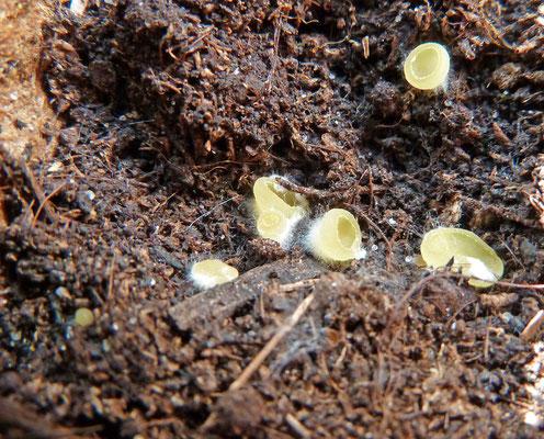 Ascobolus ss lato - spikkelschijfje