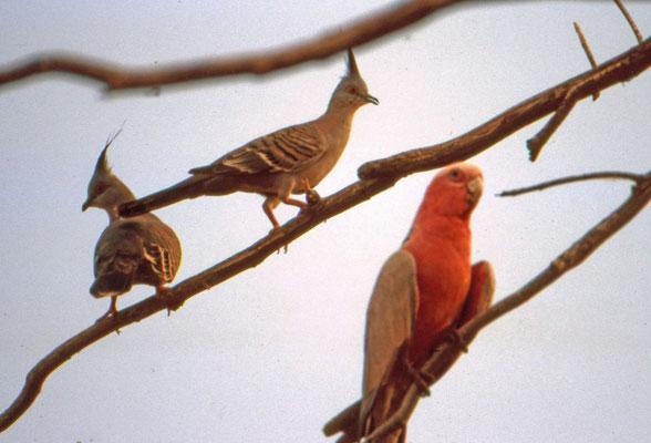 Galah en Crested Pigeon
