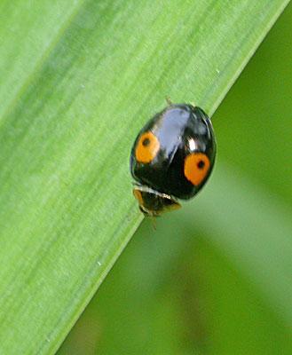 Harmonia axyridis -Veelkleurig Aziatisch lieveheersbeestje