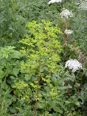 Euphorbia amygdaloides - Amandelwolfsmelk