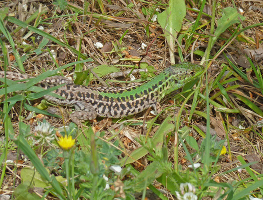 Podarcis tauricus - Taurische hagedis