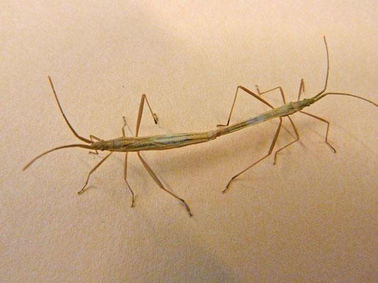 Notostira elongata - Bruine Graswants