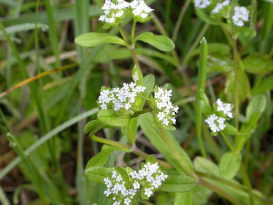 Valerianella locusta - Gewone veldsla
