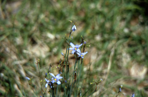 Dotted Blue-eyed Grass