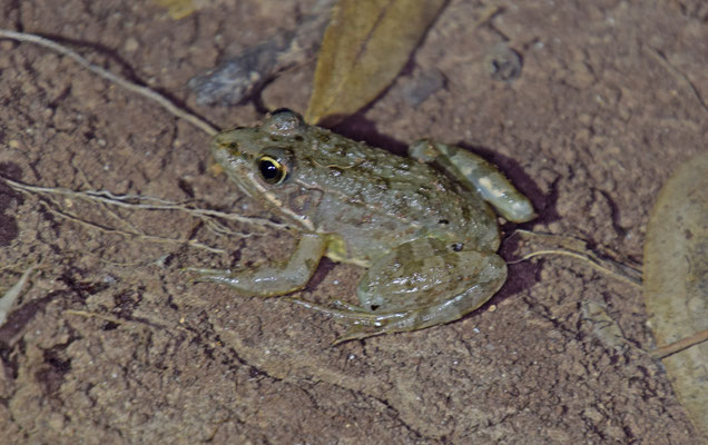 Levant Water Frog (Pelophylax bedriagae)