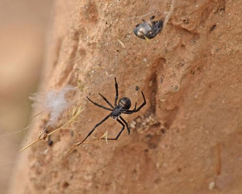 zwarte weduwe (Latrodectus revivensis)