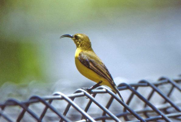 Yellow-bellied Sunbird, female