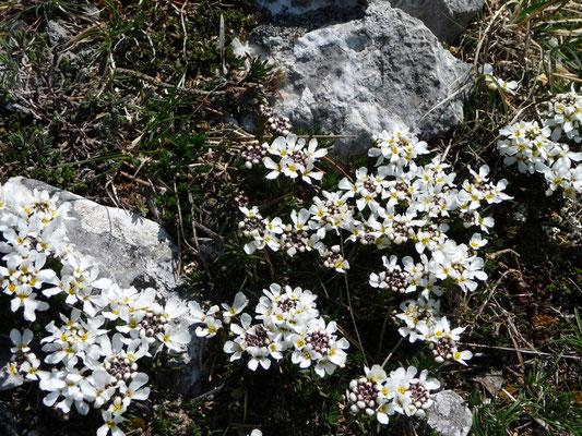 Thlaspis cepaeifolium