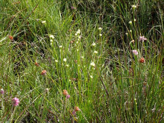 Rhynchospora alba - Witte snavelbies