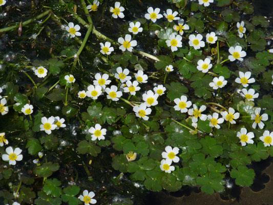 Ranunculus peltatus - Gewone of Grote waterranonkel