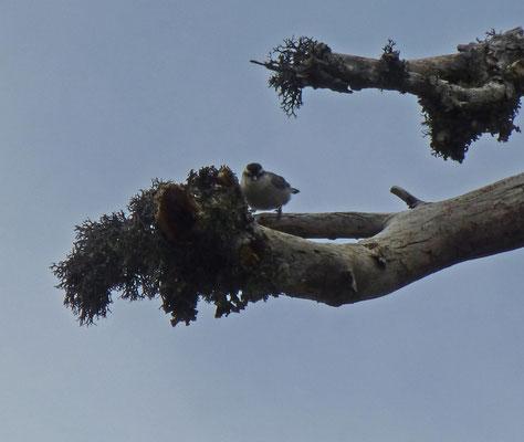 Corsicaanse boomklever
