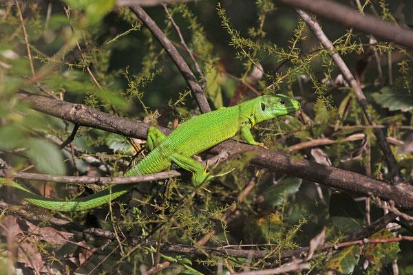 Westelijke smaragdhagedis (Lacerta bilineata), foto Ruud