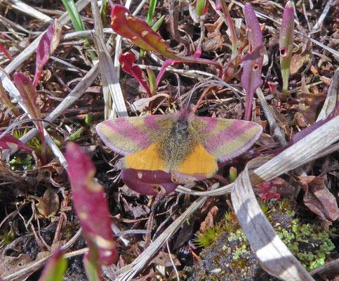 Lythria cruentaria - Zuringspanner