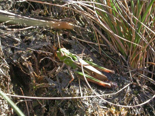 Stenobothrus lineatus - Zoemertje