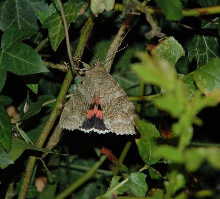 Catocala nupta - Rood weeskind