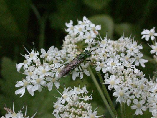 Rhogogaster viridis sl