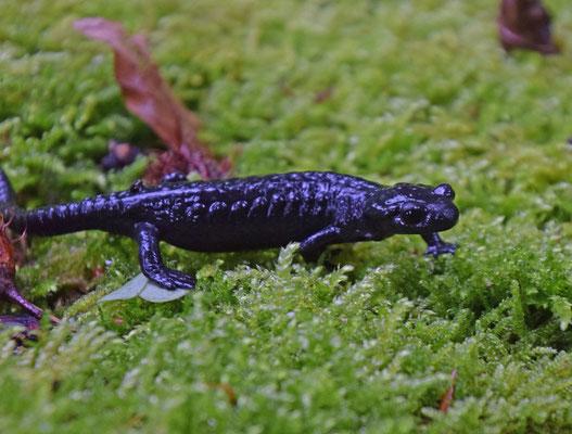 Salamandra atra - Alpensalamander