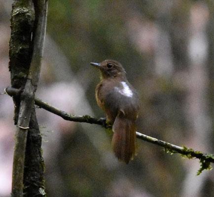 Cinereous Antshrike, female