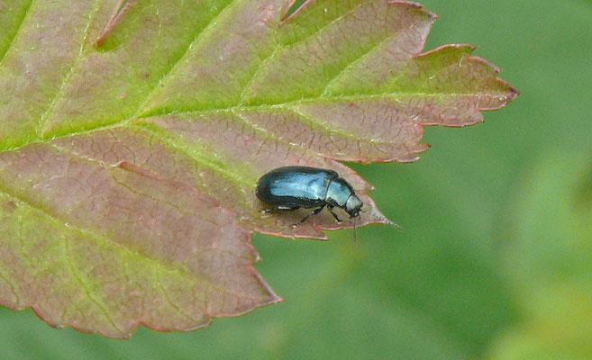 Phratora vulgatissima - Lang griendhaantje