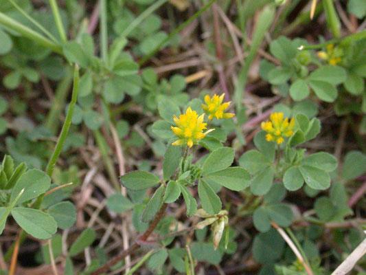Trifolium dubium - Kleine klaver