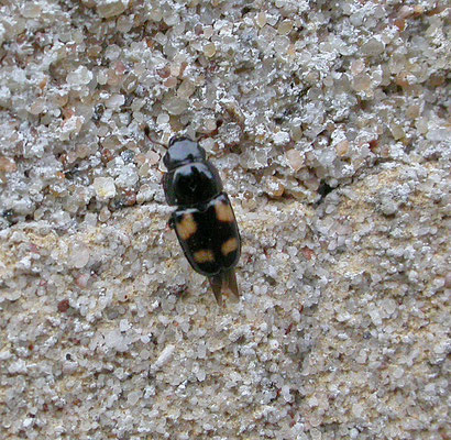 Glischrochilus quadrisignatus Viergevlekte sapkever