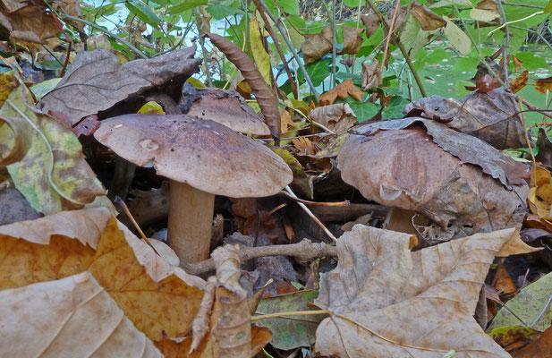 Tricholoma populinum - Populierenridderzwam