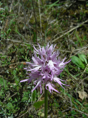Orchis italica (Italiaanse orchis)