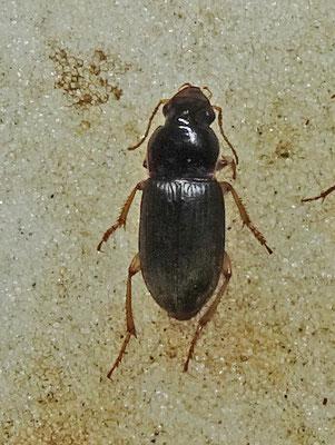 Harpalus griseus